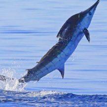Take Marlin off the menu