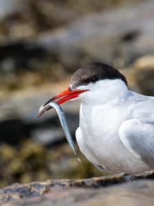 Tern-sand-lance