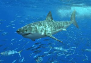 800px-White_shark-300x209